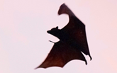 Bat warning: Leave rescues to the experts